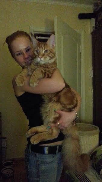 На фото котенок мейн-кун Wind in Willows Revan - возраст 6 месяцев